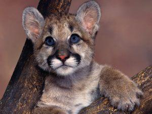 Cougar-Kitten